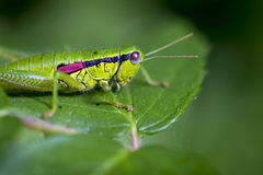 Grasshopper on a green leaf. Closeup of grasshopper on a leaf stock images