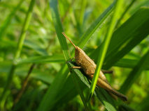 Grasshopper on a green leaf Royalty Free Stock Photo