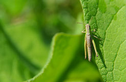 Grasshopper on green leaf Stock Images