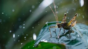 Grasshopper on green leaves with morning rain drops royalty free stock image