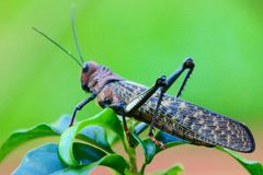 Grasshopper on green leaves. Multicolored Grasshopper on leaves with green background in Costarica stock photography
