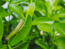 Grasshopper on green leaves Royalty Free Stock Photo