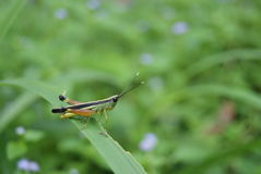 Grasshopper in green meadow. Insect in the garden Royalty Free Stock Photo