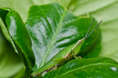 Grasshopper in green nature Royalty Free Stock Image
