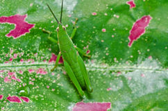 Grasshopper in green nature Stock Photography