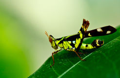 Grasshopper in green nature. In rain forest,Thailand Royalty Free Stock Images