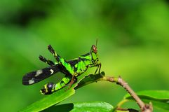 Grasshopper in green nature or in the garden Royalty Free Stock Photo