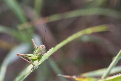 Grasshopper on a green plant leaf Royalty Free Stock Photography