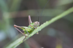 Grasshopper on a green plant leaf Royalty Free Stock Image