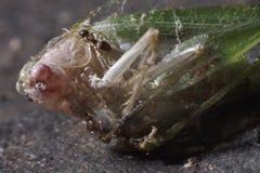 Grasshopper. Green grasshopper ready to escape Stock Photos