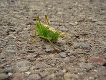 Grasshopper royalty free stock photography