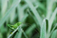Grasshopper on green Stock Images