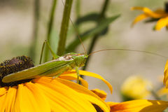 Grasshopper green (Tettigonia viridissima) Stock Photos