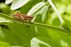 Grasshopper on green vegetation Stock Photos