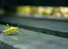 Grasshopper on green wood  bench. Picture of a Grasshopper on green wood  bench Royalty Free Stock Image