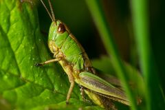 Grasshopper Green and Yellow Stock Image