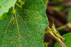 Grasshopper greener insect. Grasshopper  hiding leaf farm close up micro mode Stock Image