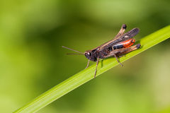 Grasshopper on a greenery color leaf. insect macro view, shallow depth of field, horizontal photo Stock Photo