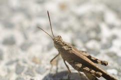 Grasshopper with grey bokeh Stock Image