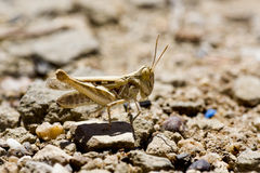 Grasshopper on the ground Stock Photography