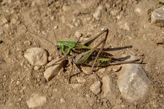 Grasshopper in a ground. Big green grasshopper sitting in a ground Stock Photos