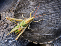 Grasshopper Royalty Free Stock Photography