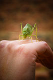 Grasshopper on hand. A closeup view of part of a hand with a large, green grasshopper crawling across the knuckles Royalty Free Stock Photos