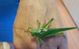 Grasshopper on hand Royalty Free Stock Photos