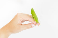 grasshopper on hand isolated on white background Royalty Free Stock Photos