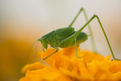 Grasshopper having lunch in the flower garden Royalty Free Stock Image