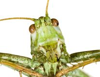 Grasshopper Head Stock Image