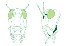 Grasshopper Head diagram Stock Photos