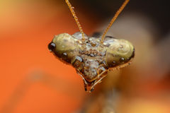 Grasshopper head Stock Photos