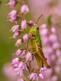 Grasshopper on heather Stock Image