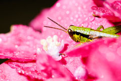 Grasshopper hide between pink flowers Stock Images