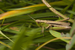 Grasshopper hiding Royalty Free Stock Photography