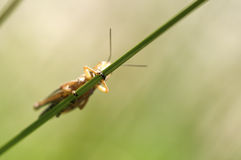 Grasshopper hiding behind some grass.  Stock Images