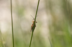 Grasshopper hiding behind some grass Royalty Free Stock Photos