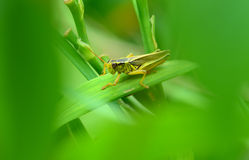 Grasshopper hiding in garden Stock Photo