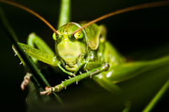 Grasshopper hiding in grass Stock Photo