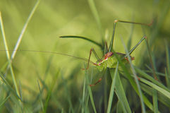 Grasshopper hiding in grass field Stock Photos