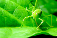 Grasshopper hiding in the green leaf. Royalty Free Stock Photos