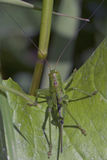 Greeen on the green � Grasshopper Royalty Free Stock Photos