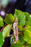 Grasshopper Hiding in Leaves Royalty Free Stock Image