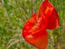 Grasshopper hiding in a poppy stock photography