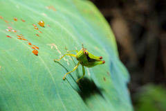 Grasshopper holding on green leaf with close up detailed view. Royalty Free Stock Photo