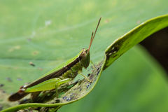 Grasshopper holding on green leaf with close up detailed view. Stock Image