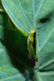 Grasshopper holding on green leaf with close up detailed view. Royalty Free Stock Photography