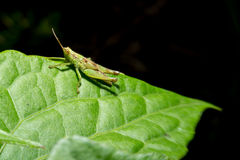 Grasshopper holding on green leaf with close up detailed view. Royalty Free Stock Image
