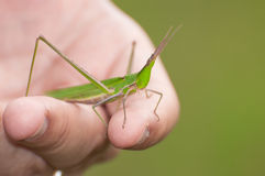 Grasshopper and human touch Stock Images